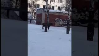 Лось гуляет по центру Нефтекамска