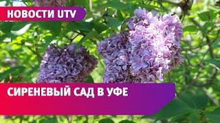 UTV. Уфимский ботанический сад приглашает посмотреть на распустившуюся сирень