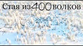 400 Волков в одной стае (Якутия)
