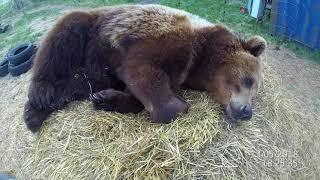 Медведь устал и очень хочется спать