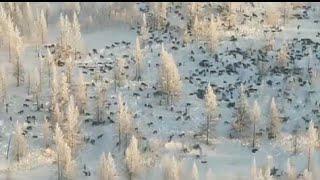 Огромную стаю волков засняли около границы России????????????