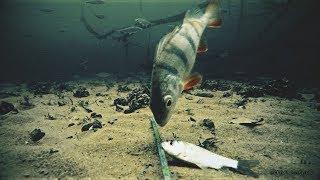 АТАКА ОКУНЯ НА КАРАСЯ! Подводная съемка. Рыбалка 2019