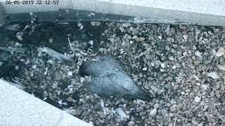 Гнездо сокола-сапсана на крыше офиса Банка УРАЛСИБ в Уфе