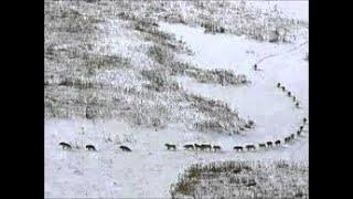 Волки идут в Алтайский Край