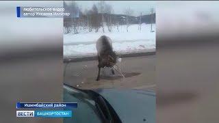 Видео: в Ишимбайском районе олень решил поиграть в снежки