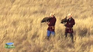 Охота с ловчими птицами, Беркут ловит волка!
