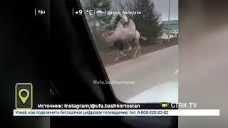 В Туймазах верблюд пытался убежать из цирка