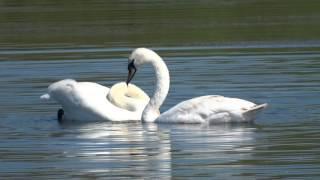 Лебеди на пруду (Янаульский район)