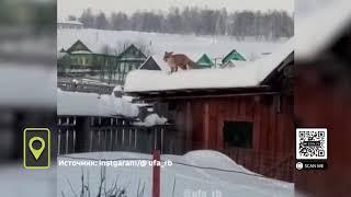 В Башкирии сняли на видео лису - экстремалку, занимающуюся паркуром