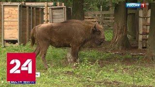 Европейские зубры благородных кровей осваиваются в лесах Центральной России - Россия 24