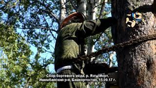 Сбор бортевого мёда (Ишимбайский район, Башкортостан)