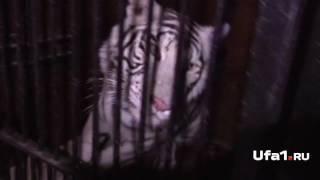 На границе с Башкирией тигры попали в аварию