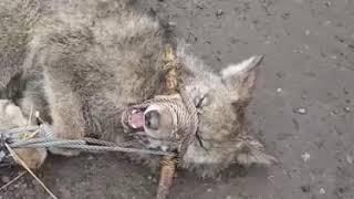 В Бишкеке возле средней школы №41 бегал волк