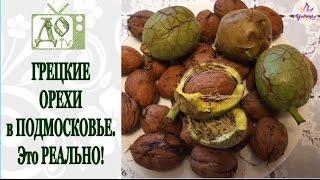 Грецкие орехи в Подмосковье. Это РЕАЛЬНО! Наш маленький урожай
