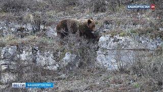 «Медвежий театр». Прогулка косолапых в нацпарке «Башкирия» попала на видео