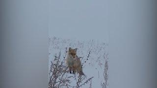 Рыбаки в Башкирии накормили голодного лиса