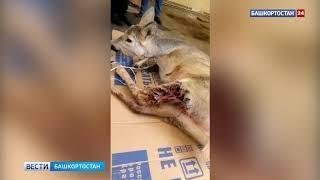 В Башкирии бродячие собаки едва не разорвали косулю