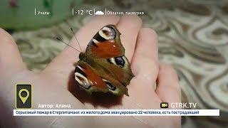 В Башкирии в мороз проснулись бабочки