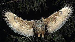 Виргинский филин — король ночной охоты!