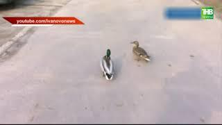 Во время режима самоизоляции утки стали приходить в жилые кварталы Казани