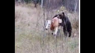 Медведь убивает корову. Часть 1. Республика Алтай. 18+ / Bear kills a cow (Russia) Горный Алтай