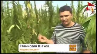 Поле конопли в Башкирии все законно.