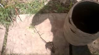 Посадка томатного дерева  спрут f1