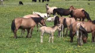 Табун башкирских лошадей Хасана Идиятуллина