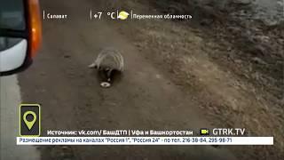 На трассе в Башкирии барсук вышел на дорогу и выпрашивал еду
