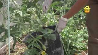 Выращивание арбуза в средней полосе. Личный опыт // FORUMHOUSE