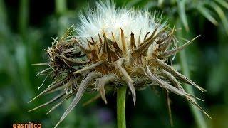 Расторопша, лекарственное растение. Расторопша или остро - пёстро!
