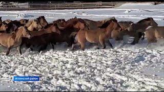 В Башкирии из тысячи лошадей в поле написали слово «Буряты»