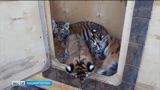 В уфимском зоопарке родились тигрята