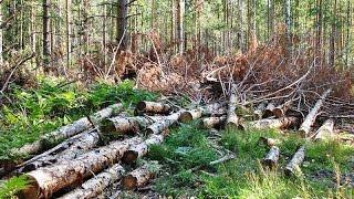 Туймазы, Башкирия, жители восстали против уничтожения 625 деревьев, но Эссен сильнее