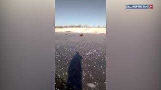 В Башкирии спасли двух лосей, застрявших на замерзшем пруду