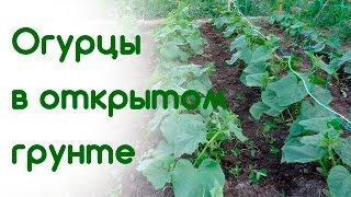 Обзор огурцов в открытом грунте 5.06.16 (посеяны 30.04.16)