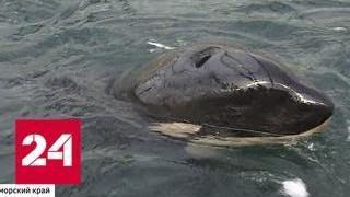 Ученые отследили маршрут бывших узников китовой тюрьмы - Россия 24