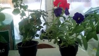 Мой опыт покупки ,  рассады вегетативной петунии из Кумертау .