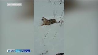 Жители Башкирии просят наказать издевающихся над ранеными волками охотников