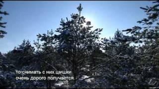 Утреннее ТВ: как собирают шишки на семена