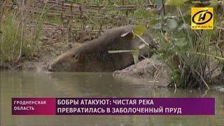 Бобры атаковали одну из деревень Слонимского района