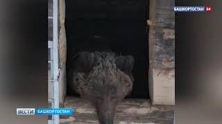Наконец выспался: проведший 17 лет в клетке в Башкирии медведь Тишка вышел из спячки