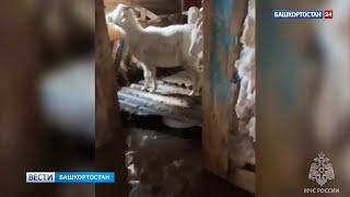 Из-за паводка в Башкирии спасатели экстренно вывозят домашний скот на надувных лодках - ВИДЕО