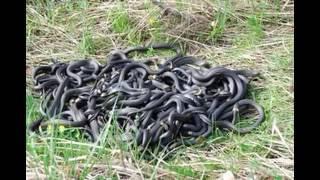 Змеи до смерти закусали молодую девушку на Ставрополье