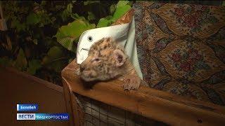 Удивительные кошки: в передвижном зоопарке в Башкирии родились лигрята