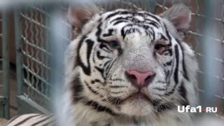 Тигры после ДТП в порядке