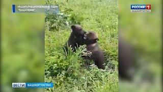 Медвежьи бои в природном парке Башкирии засняли на видео
