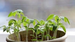 Сроки посева семян овощных культур на рассаду