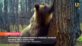 Новости UTV. В Башкирии медведь воровал мед у диких пчел