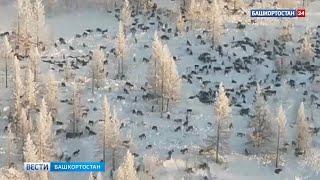 Огромная стая волков идут в Башкирию из Казахстана!